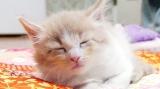 10月21日放送テレビ東京系『超かわいい映像連発!どうぶつピース!!』より。メインクーン(寝起き大好物レースのコーナーに登場)(C)テレビ東京