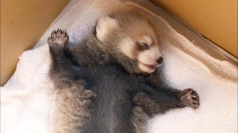 仰向けになって眠るレッサーパンダの赤ちゃん