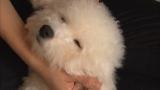 11月11日放送、テレビ東京系『超かわいい映像連発!どうぶつピース!!』より。ビション・フリーゼ(母犬マッサージに登場)(C)テレビ東京