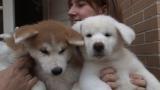 スペインで暮らすことになった秋田犬の姉妹(C)テレビ東京