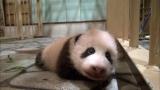 1月27日放送、テレビ東京系『超かわいい映像連発!どうぶつピース!!』より。パンダの赤ちゃんが初めて歩いた瞬間の映像を放送(C)テレビ東京