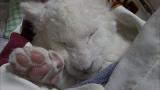 ホワイトライオンの赤ちゃんに密着(C)テレビ東京
