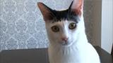 2月17日放送、テレビ東京系『超かわいい映像連発!どうぶつピース!!』より。カツラをかぶっているようみ見える猫(C)テレビ東京