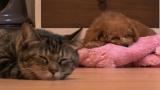 猫とトイ・プードル(C)テレビ東京