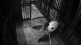 水分補給する「シンシン」(2017年6月13日撮影)提供:(公財)東京動物園協会