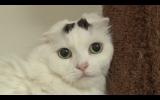 6月23日放送、テレビ東京系『超かわいい映像連発!どうぶつピース!!』スコティッシュフォールド(C)テレビ東京