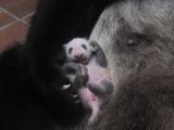 上野動物園で生まれたジャイアントパンダの赤ちゃん(20日齢)(公財)東京動物園協会