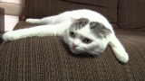 8月4日放送、テレビ東京系『超かわいい映像連発!どうぶつピース!!』より。スコティッシュフォールド(C)テレビ東京