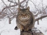 オオトラ=『劇場版 岩合光昭の世界ネコ歩き コトラ家族と世界のいいコたち』場面写真 (C)Mitsuaki Iwago