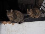オオトラとコトラ=『劇場版 岩合光昭の世界ネコ歩き コトラ家族と世界のいいコたち』場面写真 (C)Mitsuaki Iwago