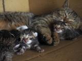 出産直後のコトラと仔猫たち=『劇場版 岩合光昭の世界ネコ歩き コトラ家族と世界のいいコたち』場面写真 (C)Mitsuaki Iwago