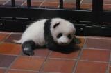 上野動物園で生まれたジャイアントパンダの赤ちゃん(60日齢)(公財)東京動物園協会