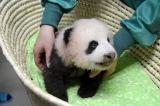 身体検査中のジャイアントパンダの赤ちゃん(公財)東京動物園協会