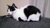 9月8日放送、テレビ東京系『超かわいい映像連発!どうぶつピース!!』より。白い猫が見える!猫柄(C)テレビ東京