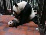 上野動物園で生まれたジャイアントパンダの赤ちゃん(90日齢)と母親のシンシン(公財)東京動物園協会