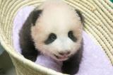 上野動物園で生まれたジャイアントパンダの赤ちゃん(90日齢)(公財)東京動物園協会