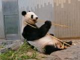 上野動物園にいるジャイアントパンダ「シンシン」(公財)東京動物園協会