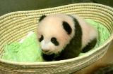 上野動物園で生まれたジャイアントパンダの赤ちゃんの名前が「シャンシャン(香香)」に決定(100日齢)(公財)東京動物園協会