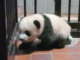 上野動物園ジャイアントパンダの産室内を歩くシャンシャン(110日齢)(公財)東京動物園協会