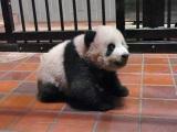 お座りするシャンシャン(110日齢)(公財)東京動物園協会