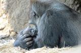 上野動物園ニシゴリラのモモコが出産(公財)東京動物園協会