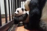 上野動物園で生まれたジャイアントパンダのシャンシャン(120日齢)。もう少しで立てそうです(公財)東京動物園協会
