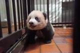 上野動物園で生まれたジャイアントパンダのシャンシャン(120日齢)(公財)東京動物園協会