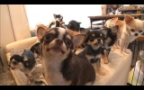 14匹のチワワの大家族に密着。10月13日放送、テレビ東京系『超かわいい映像連発! どうぶつピース!』(C)テレビ東京