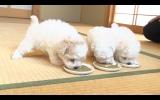 10月13日放送、テレビ東京系『超かわいい映像連発! どうぶつピース!』ボロニーズ3兄弟(C)テレビ東京