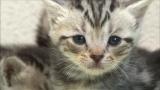 10月20日放送、テレビ東京系『超かわいい映像連発! どうぶつピース!』かわいい子猫(写真はアメリカン・ショートヘア)もたくさん登場(C)テレビ東京