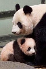 上野動物園で母親のシンシンに寄り添うシャンシャン(公財)東京動物園協会