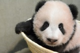カメラを不思議そうに見つめるシャンシャン(公財)東京動物園協会