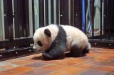 しっかりとした足取りで歩き回るシャンシャン(公財)東京動物園協会