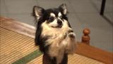 10月27日放送、テレビ東京系『超かわいい映像連発! どうぶつピース!』祈願犬(C)テレビ東京