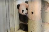 上野動物園のジャイアントパンダの子どもシャンシャン(10月30日、東京・上野動物園で)(公財)東京動物園協会
