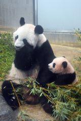 母親のシンシンに甘えるシャンシャン(10月30日、東京・上野動物園で)(公財)東京動物園協会