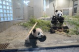 東京・上野動物園のジャイアントパンダの子ども、シャンシャン。一般公開が待ち遠しい(撮影日:2017年11月6日)(公財)東京動物園協会提供