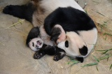 じゃれるシンシンとシャンシャン(撮影日:2017年11月9日)(公財)東京動物園協会提供