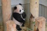 東京・上野動物園のジャイアントパンダ。竹をくわえるシャンシャン(撮影日:2017年11月9日)(公財)東京動物園協会提供