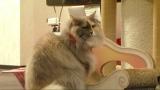 11月17日放送、テレビ東京系『超かわいい映像連発! どうぶつピース!』猫カフェに密着(C)テレビ東京