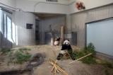 東京・上野動物園のジャイアントパンダの子ども、シャンシャン(奥)と母親のシンシン(手前)(撮影日:2017年11月19日)(公財)東京動物園協会提供