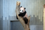 東京・上野動物園のジャイアントパンダ。木に登ったシャンシャン(撮影日:2017年11月30日)(公財)東京動物園協会提供