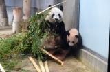 母親のシンシンも元気です(撮影日:2017年11月30日)(公財)東京動物園協会提供