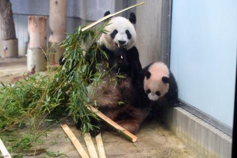 東京・上野動物園のジャイアントパンダ。母親のシンシンも元気です(撮影日:2017年11月30日)(公財)東京動物園協会提供