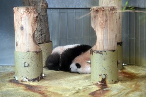 東京・上野動物園のジャイアントパンダのシャンシャン(撮影日:2017年11月30日)(公財)東京動物園協会提供