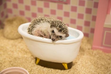 サムネイル ドールハウスのミニチュアお風呂に入るハリネズミ