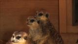 12月15日放送、テレビ東京系『超かわいい映像連発! どうぶつピース!』動物園のミーアキャットの冬支度とは?(C)テレビ東京
