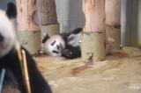 内で寝転ぶシャンシャン(写真は12月16日撮影)