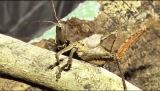 1月24日放送、TBS系『アイ・アム・冒険少年』は学者が認めた新種大発見スペシャル。マレー諸島・ボルネオにあるマリアウベイスンで背中にトゲのある昆虫を発見(C)TBS