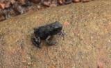 1月24日放送、TBS系『アイ・アム・冒険少年』は学者が認めた新種大発見スペシャル。マレー諸島・ボルネオにあるマリアウベイスンで米粒大のカエルを発見(C)TBS